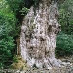 縄文杉 #1