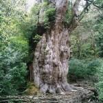 縄文杉 #2