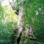 大地に根をはる杉