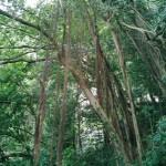 根が垂れた「ガジュマル」の木